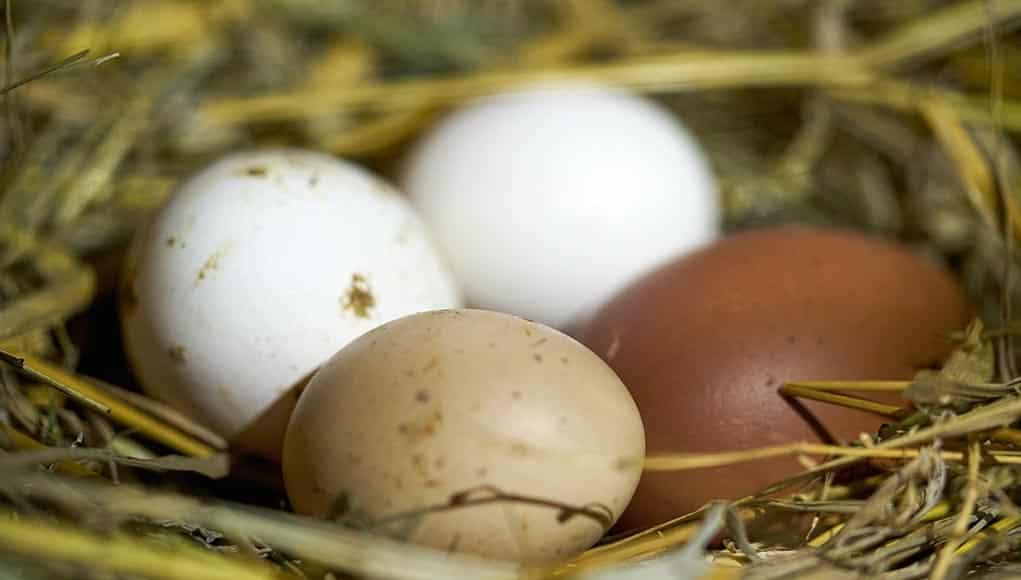 Comment conserver les œufs de poule?